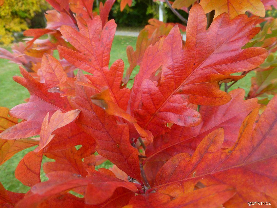 Dub Chimney Fire - podzimní zbarvení (Quercus x warei)