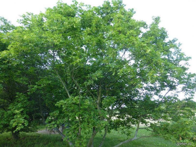 Javor mléč Dissectum - habitus na jaře (Acer platanoides)