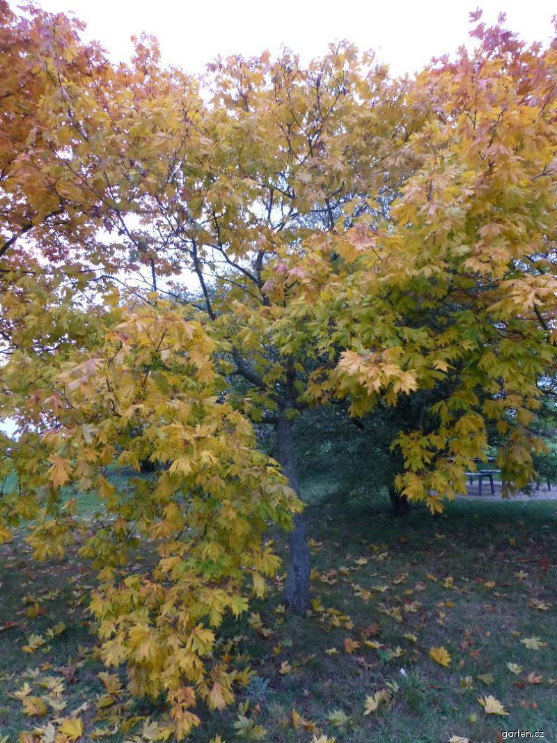 Javor mléč Dissectum - habitus na podzim (Acer platanoides)