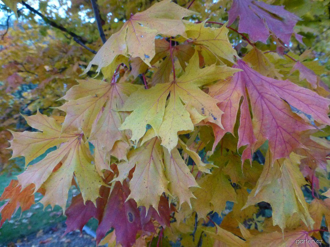 Javor mléč Dissectum - podzimní barvení (Acer platanoides)