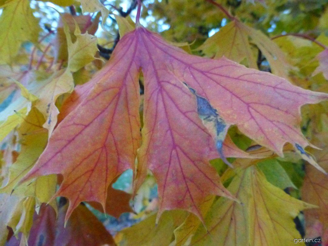 Javor mléč Dissectum - podzimní list (Acer platanoides)