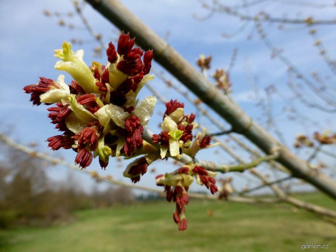 Javor jasanolistý Kelly s Gold - větévka s květy (Acer negundo)
