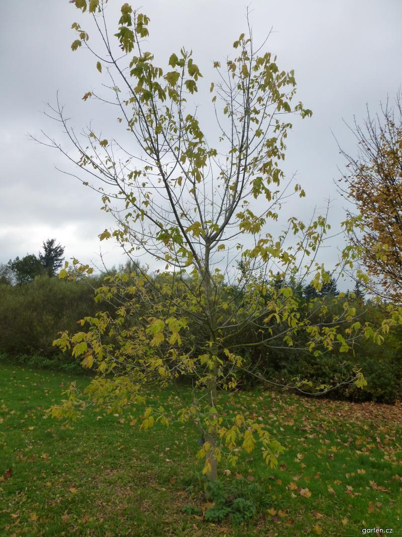 Javor jasanolistý Kelly s Gold - habitus na podzim (Acer negundo)