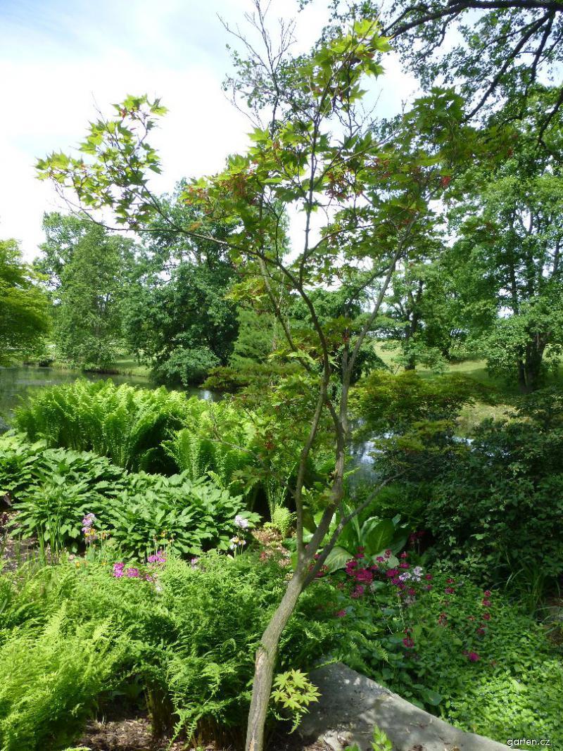 Javor dlanitolistý - habitus (Acer palmatum var heptalobum)