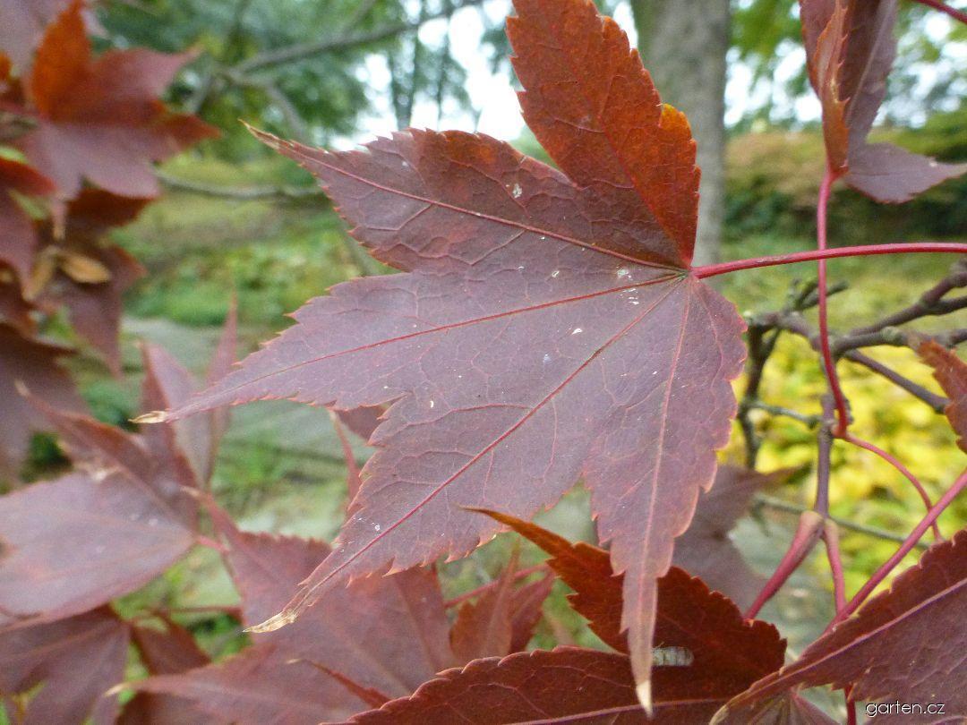 Javor dlanitolistý - podzimní list (Acer palmatum var heptalobum)