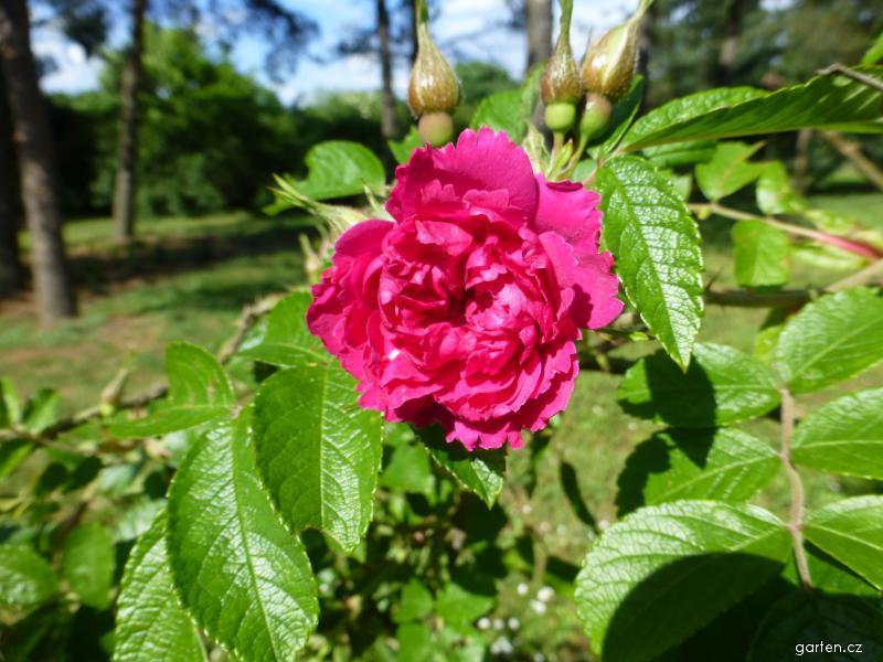 Růže svraskalá F J Grootendorst - větévka s květem (Rosa rugosa)