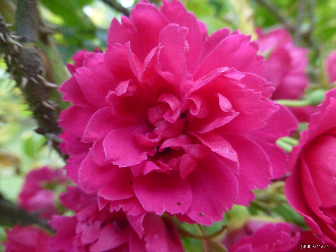 Růže svraskalá F J Grootendorst - květ (Rosa rugosa)