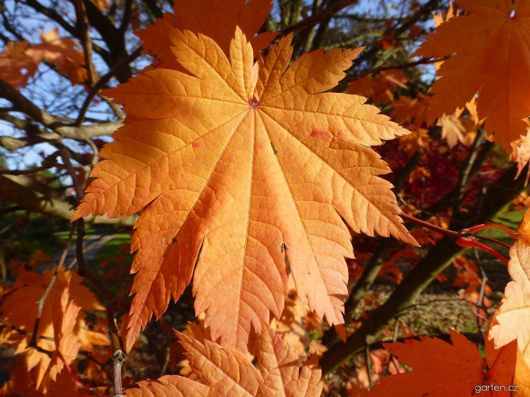 Javor japonský Vitifolium - podzimní list (Acer japonicum)