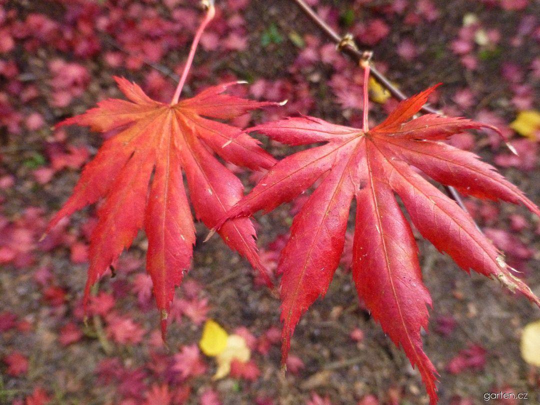 Javor dlanitolistý Trompenburg - podzimní listy (Acer palmatum)