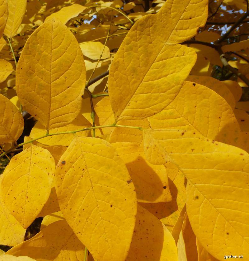 Křehovětvec žlutý - podzimní list (Cladrastis kentukea)
