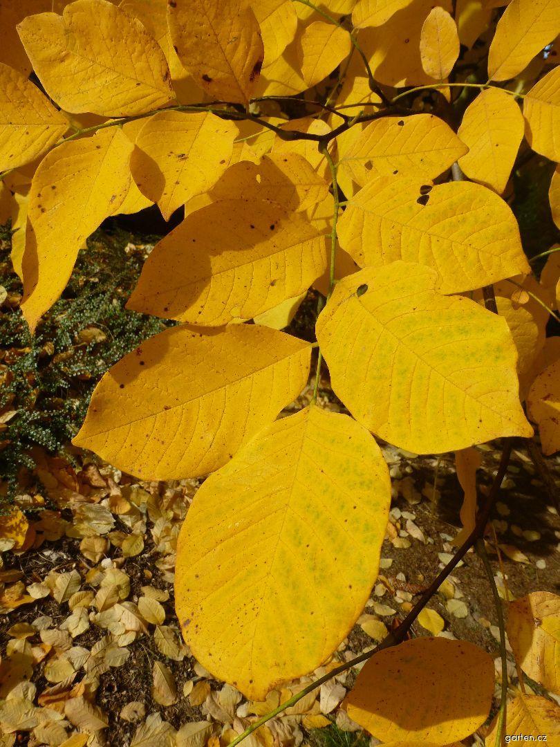Křehovětvec žlutý - podzimní listy (Cladrastis kentukea)
