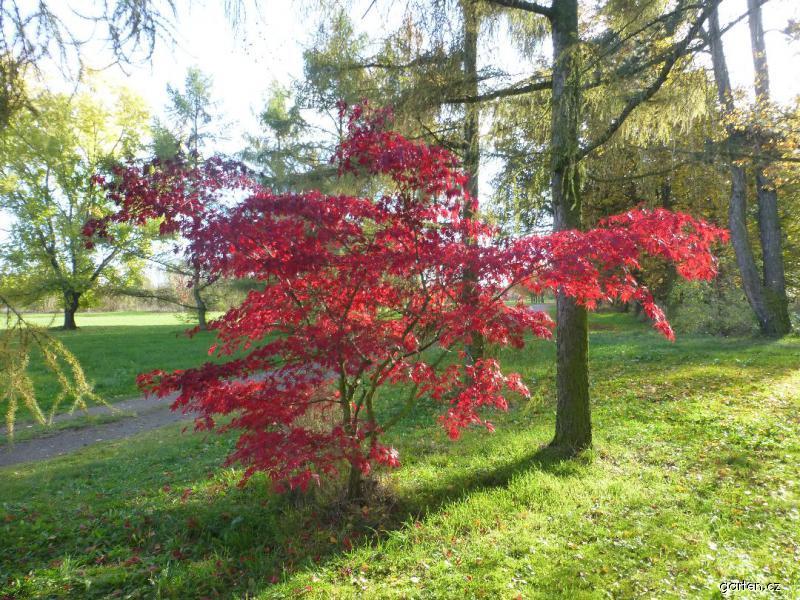 Javor dlanitolistý Burgundy Lace - habitus na podzim (Acer palmatum)