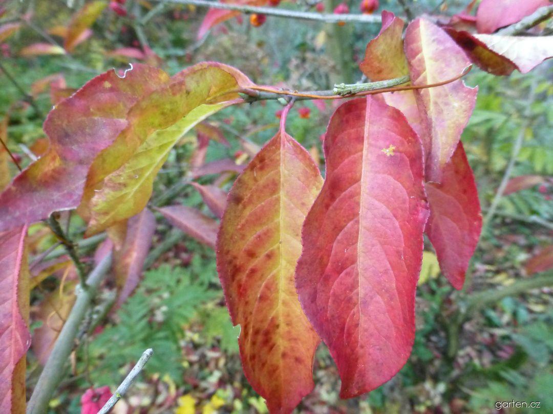 Brslen evropský Red Cascade - podzimní listy (Euonymus europaeus)