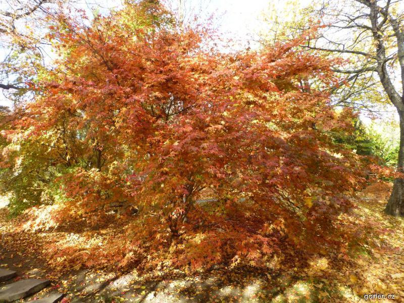 Javor dlanitolistý Tamahime - habitus na podzim (Acer palmatum)