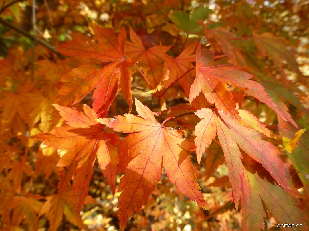 Javor dlanitolistý Tamahime - podzimní zbarvení (Acer palmatum)