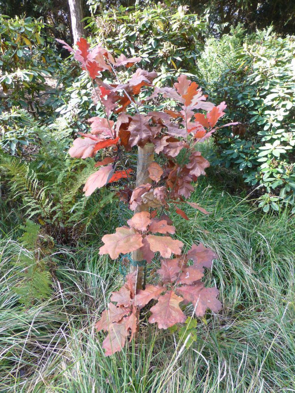 Dub sametový - habitus na podzim (Quercus velutina)