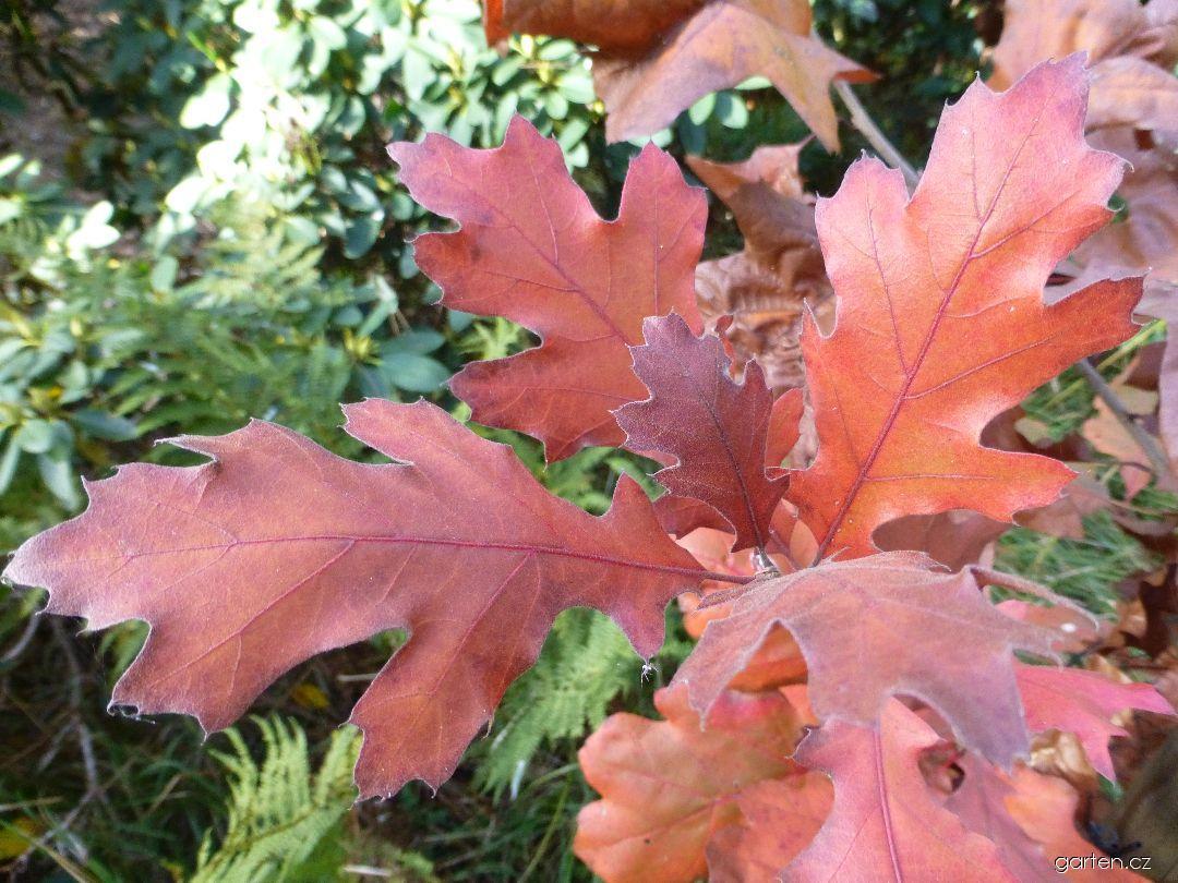 Dub sametový - podzimní zbarvení (Quercus velutina)