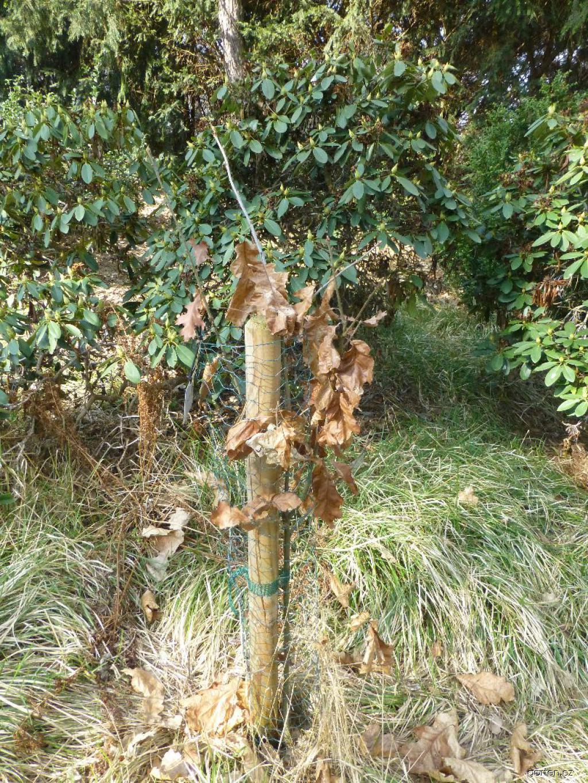 Dub sametový - habitus v březnu (Quercus velutina)