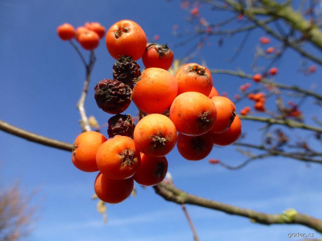 Jeřáb ptačí Compacta - větévka s plody (Sorbus aucuparia)