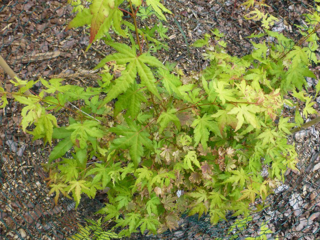 Javor dlanitolistý Orange Dream (Acer palmatum)