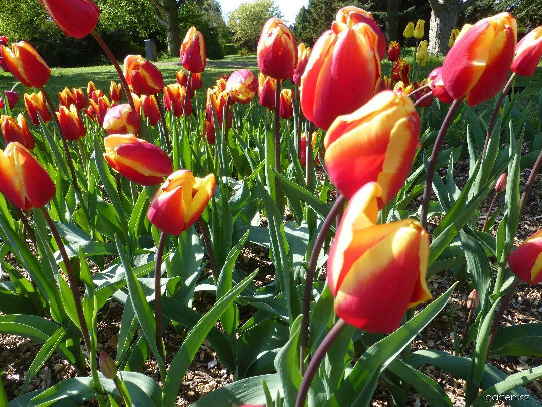 Tulipán Jan Seignette (Tulipa x hybrida)