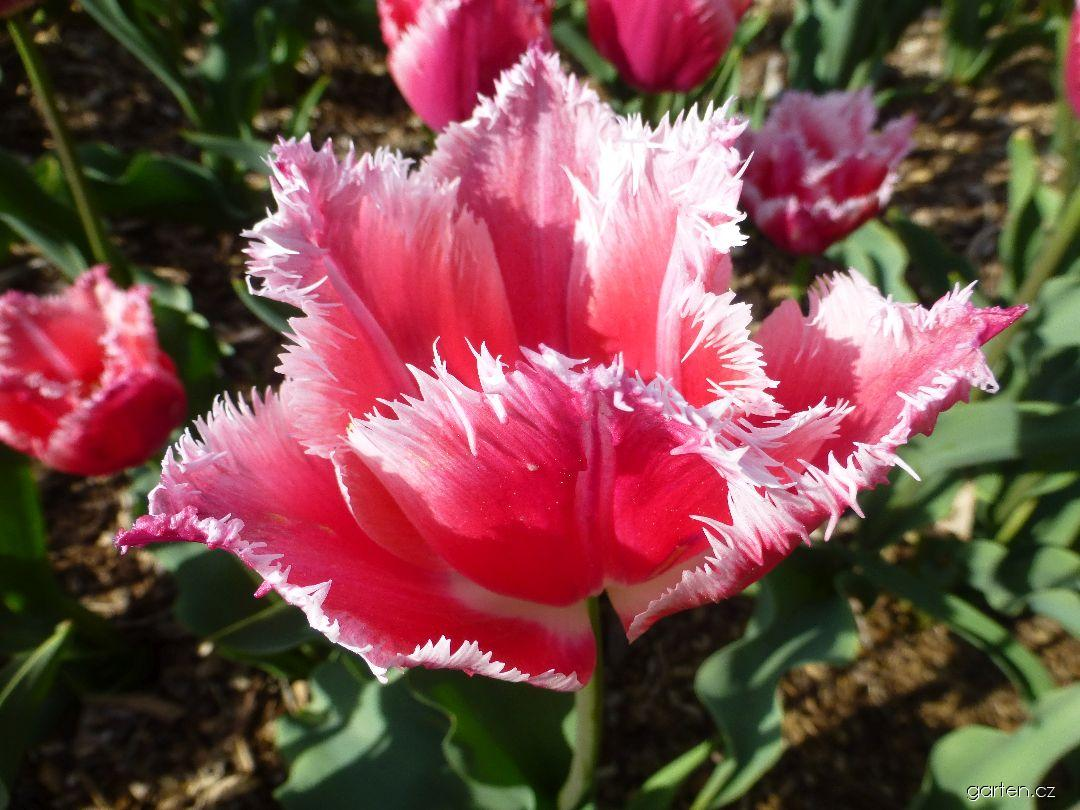 Tulipán Bell Song - květ (Tulipa x hybrida)