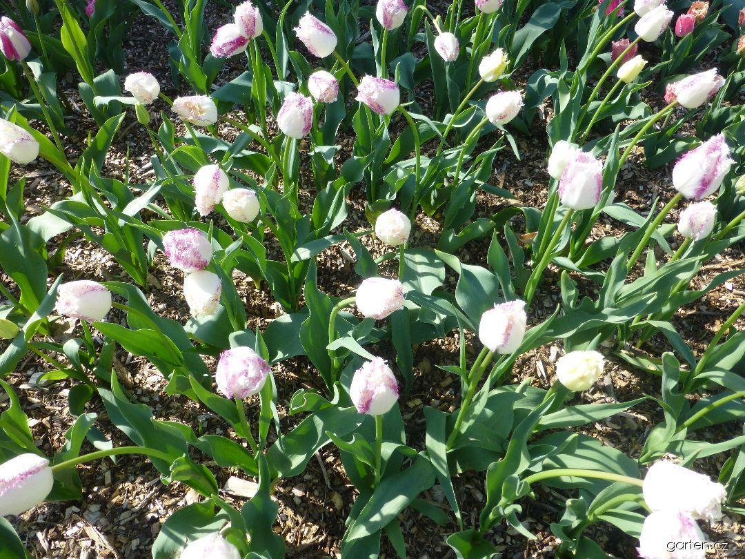 Tulipán Aria Card (Tulipa x hybrida)