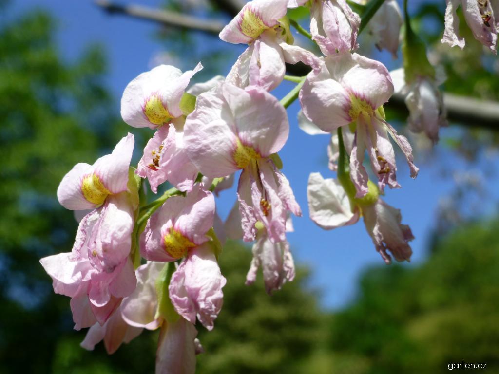Křehovětvec žlutý Perkins Pink - větévka s květy (Cladrastis kentukea)