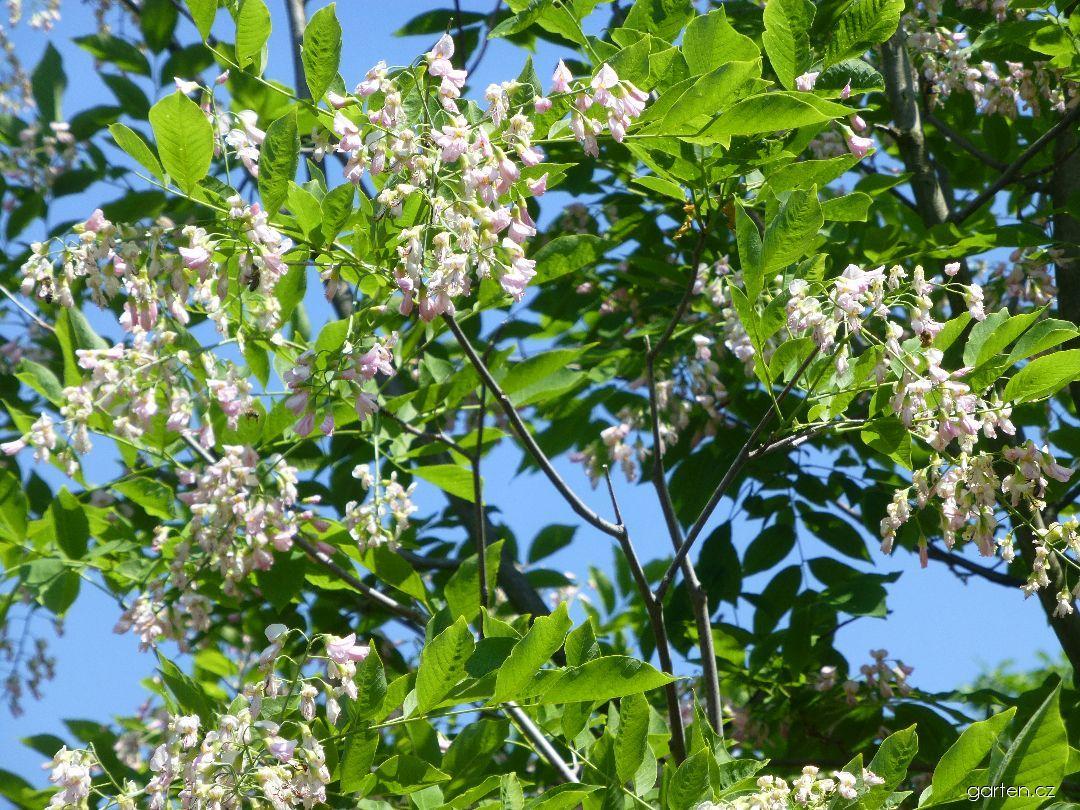 Křehovětvec žlutý Perkins Pink - větve s květy (Cladrastis kentukea)
