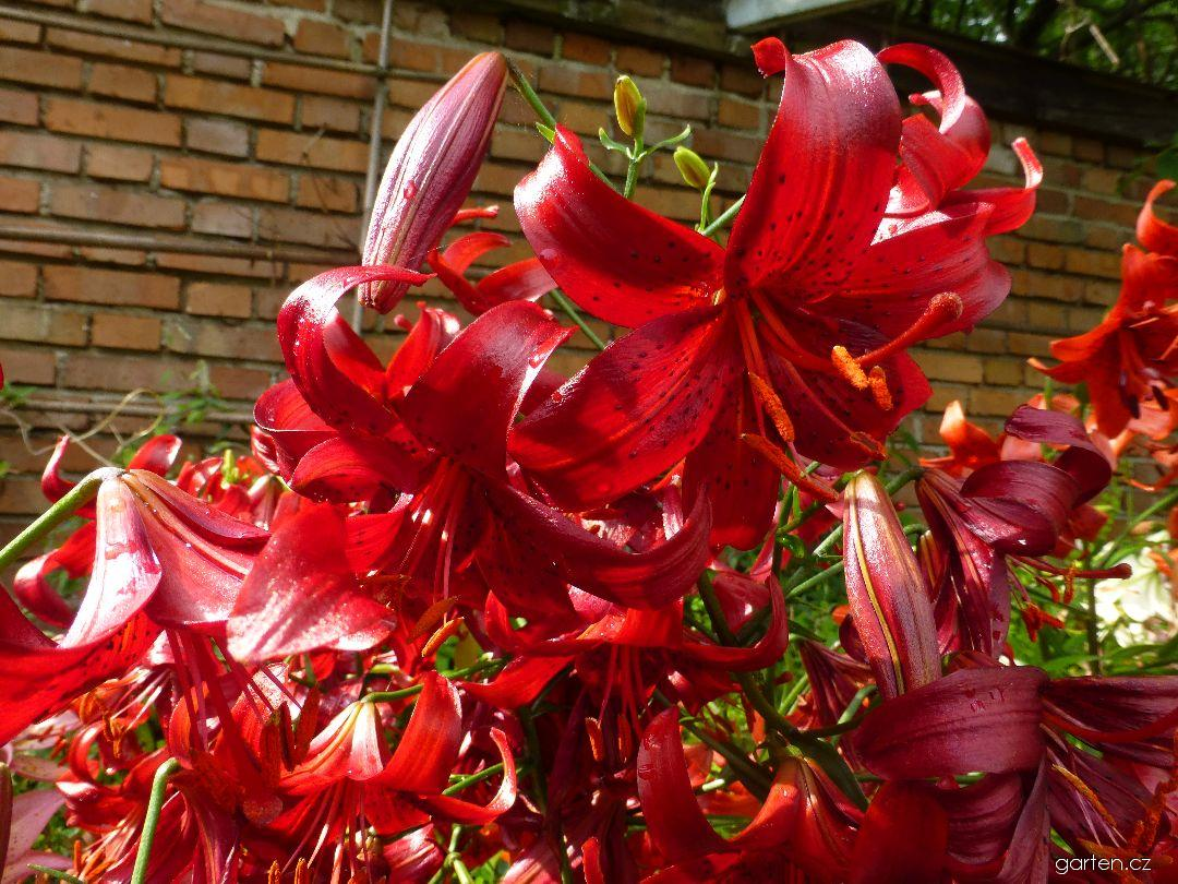 Lilie Red Velvet (Lilium x hybridum)