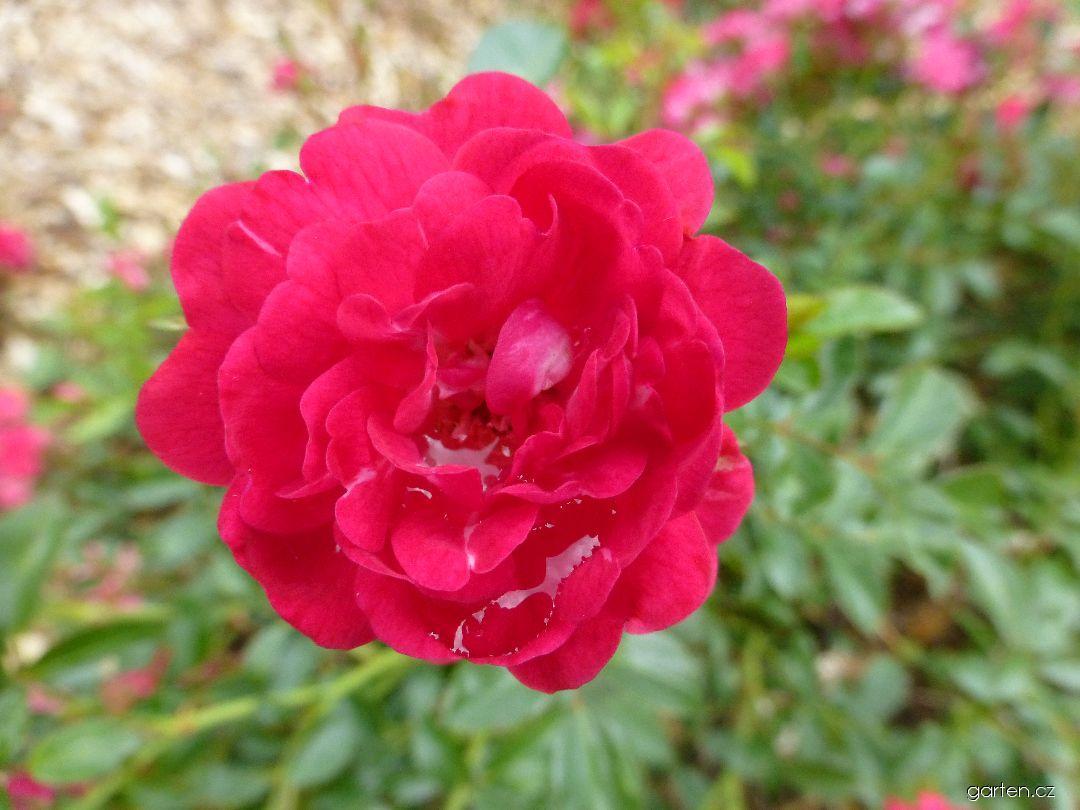 Růže Fairy Queen - květ (Rosa)