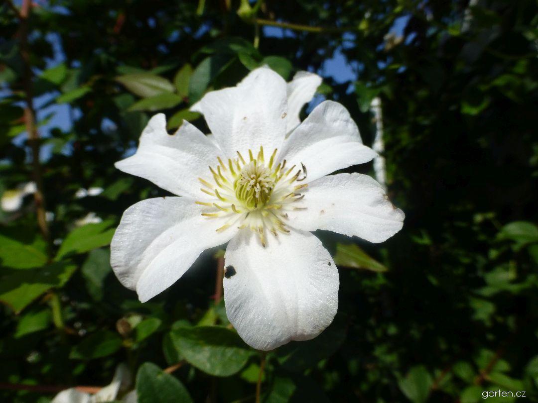 Plamének vlašský Huldine - květ (Clematis viticella)