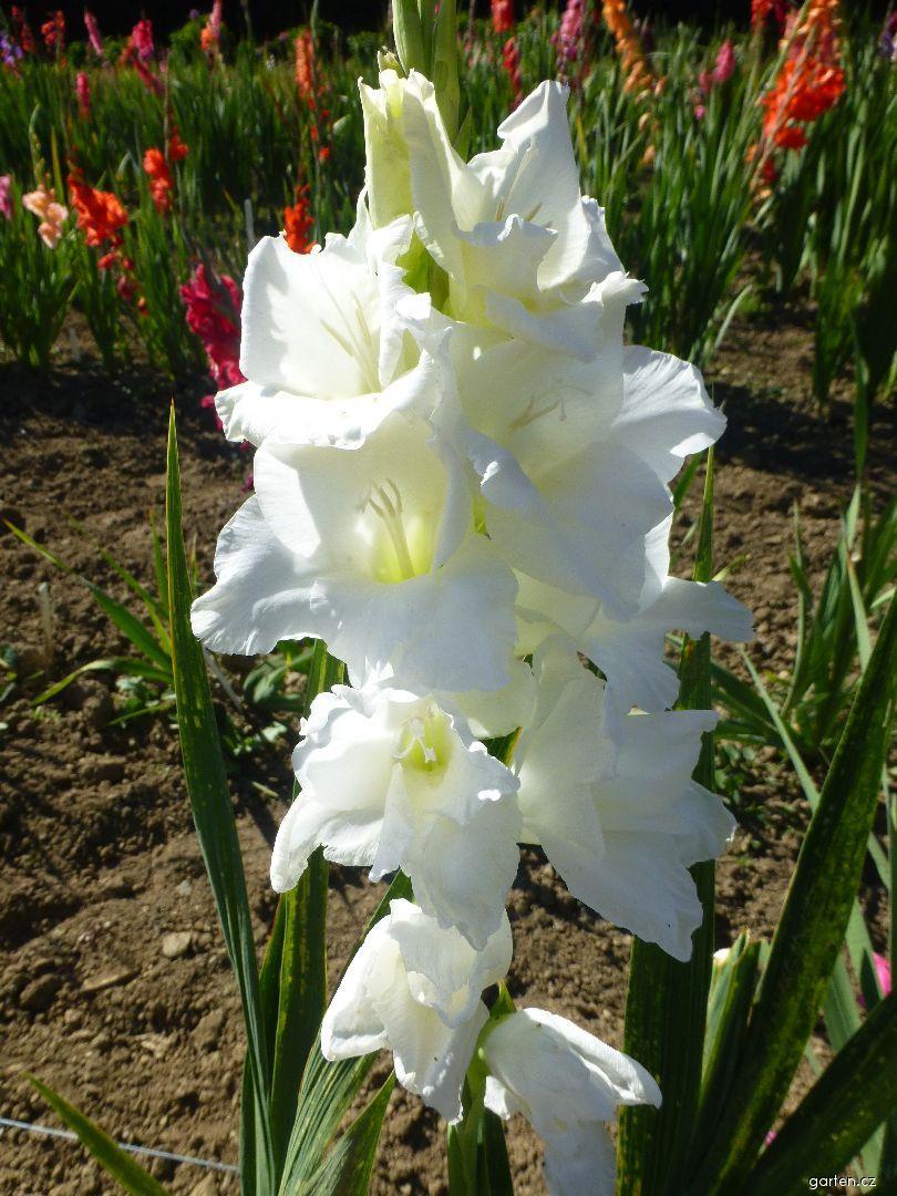 Mečík Amsterdam (Gladiolus x hybridus)