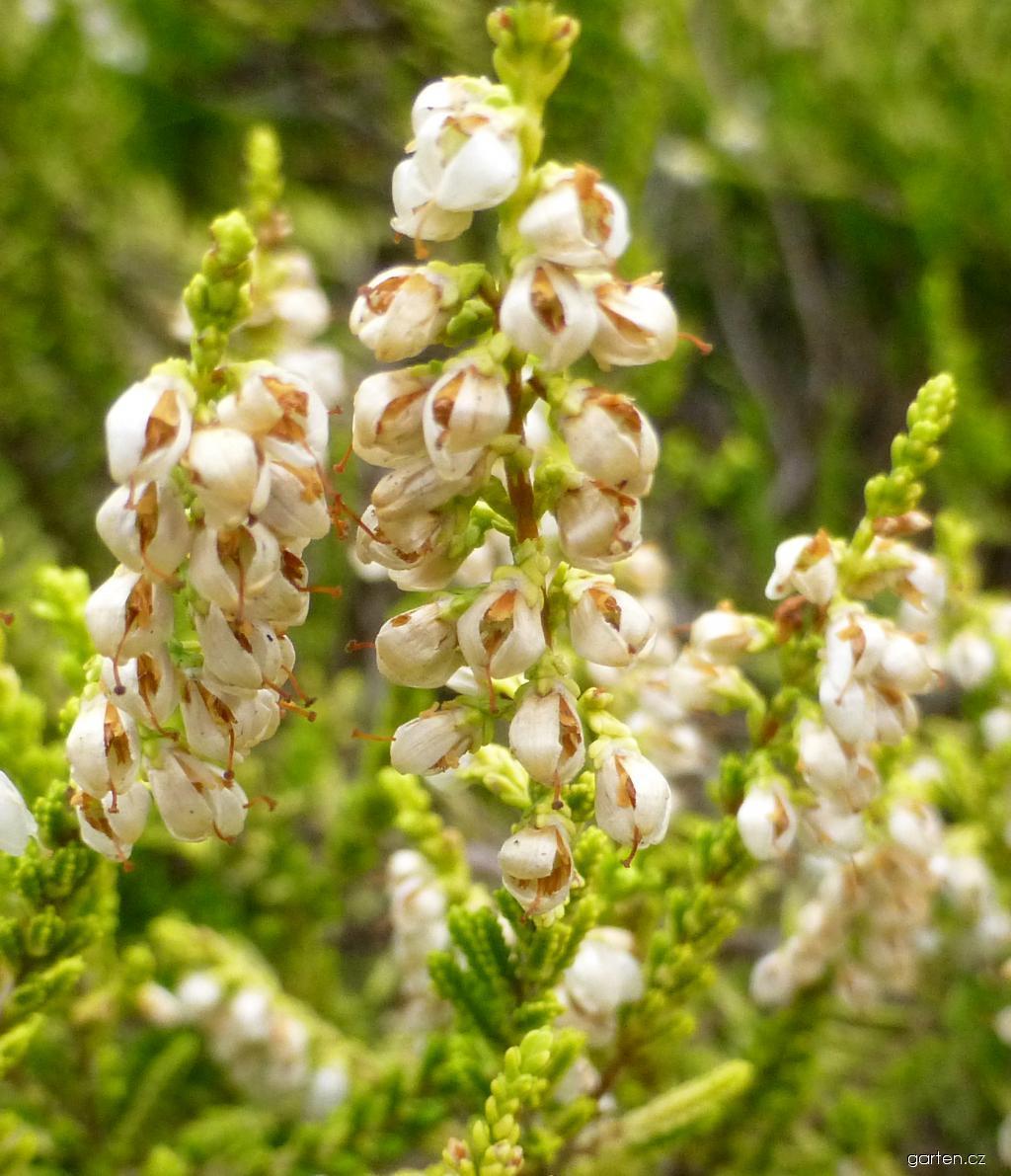 Vřes obecný Aurea - větévka s květy (Calluna vulgaris)