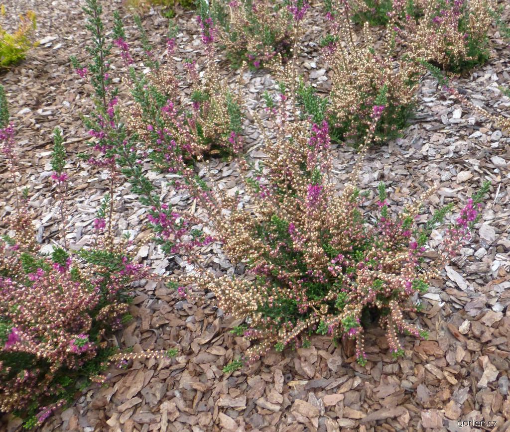 Vřes obecný Red Pimpernel (Calluna vulgaris)