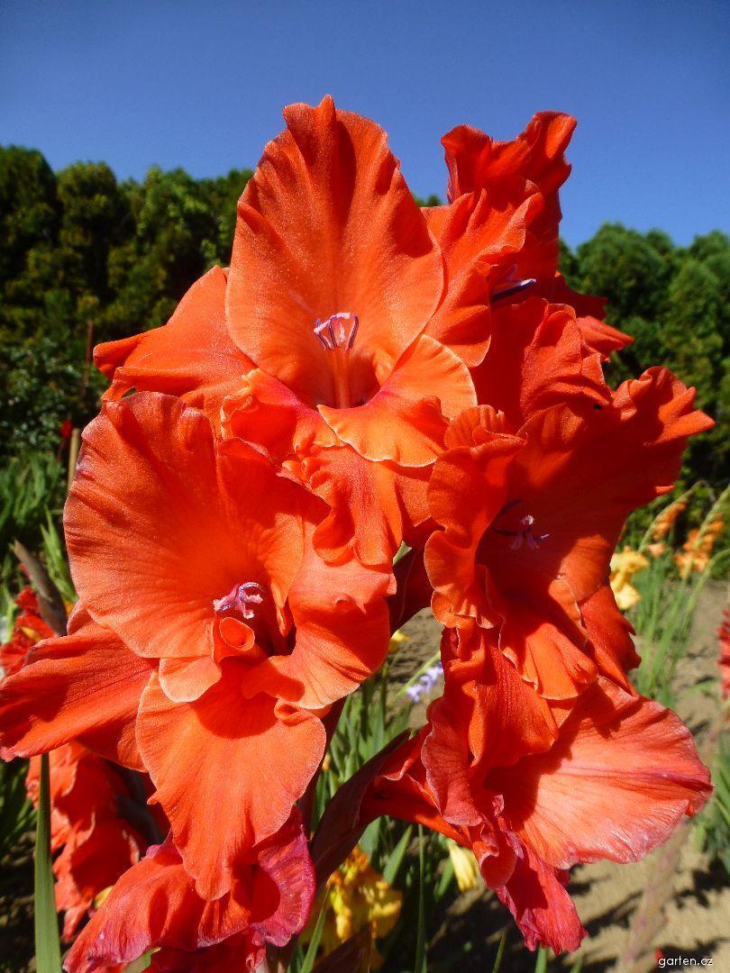Mečík Otylka (Gladiolus x hybridus)