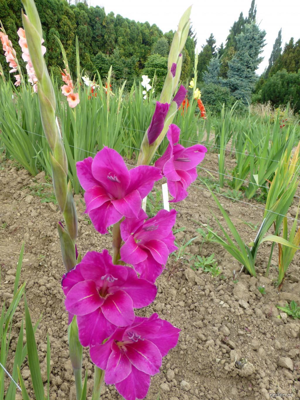 Mečík Anglie (Gladiolus x hybridus)