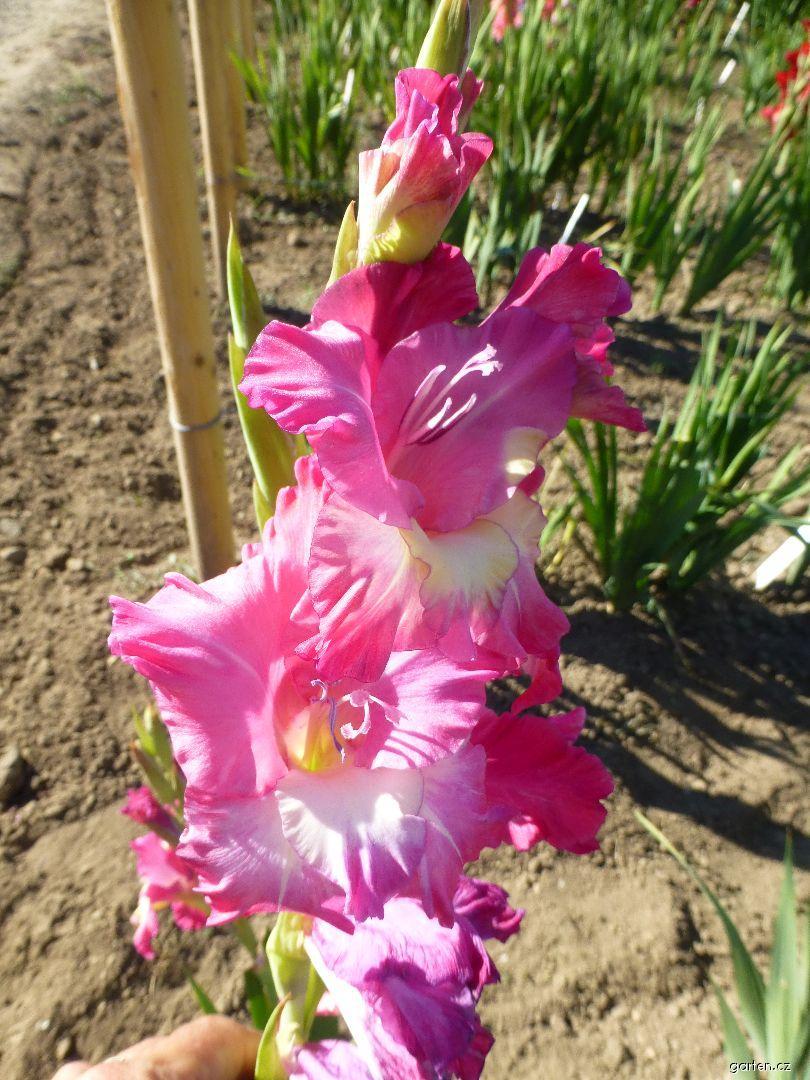 Mečík Medea (Gladiolus x hybridus)
