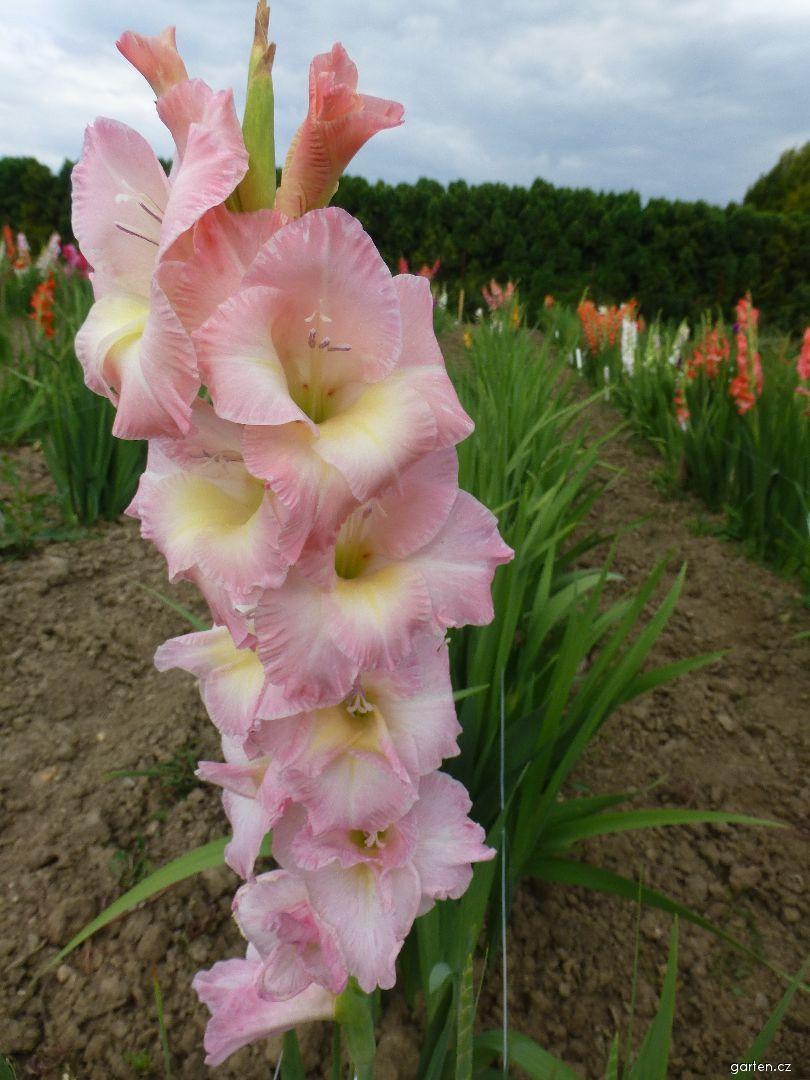 Mečík Friendship (Gladiolus x hybridus)