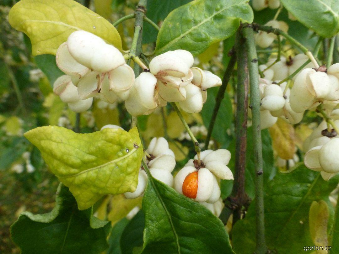 Brslen evropský Albus - větévky s plody (Euonymus europaeus)