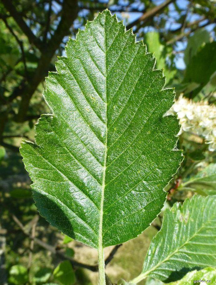 Jeřáb Mougeotův - list (Sorbus mougeotii)