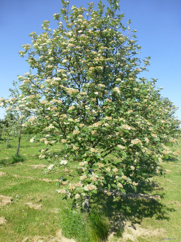 Jeřáb Mougeotův - habitus v květu (Sorbus mougeotii)