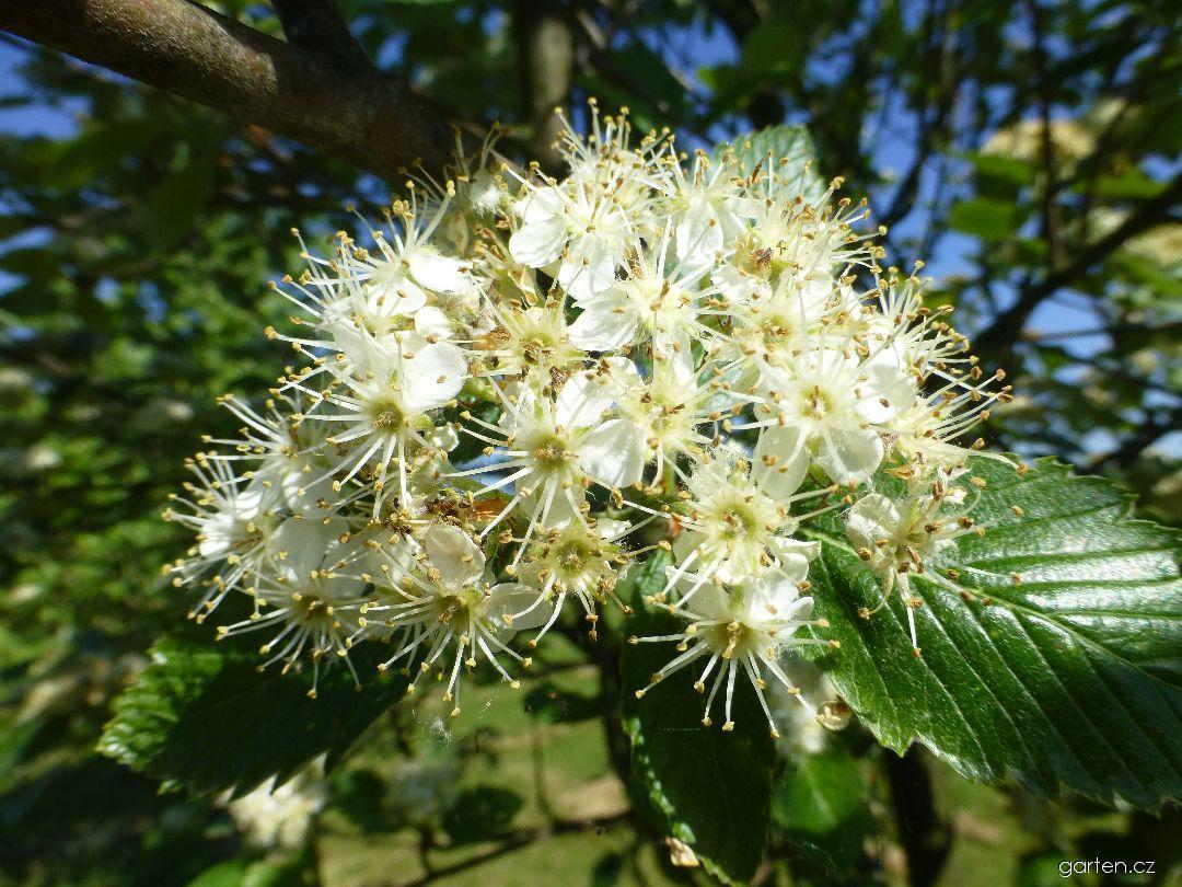 Jeřáb Mougeotův - květ (Sorbus mougeotii)