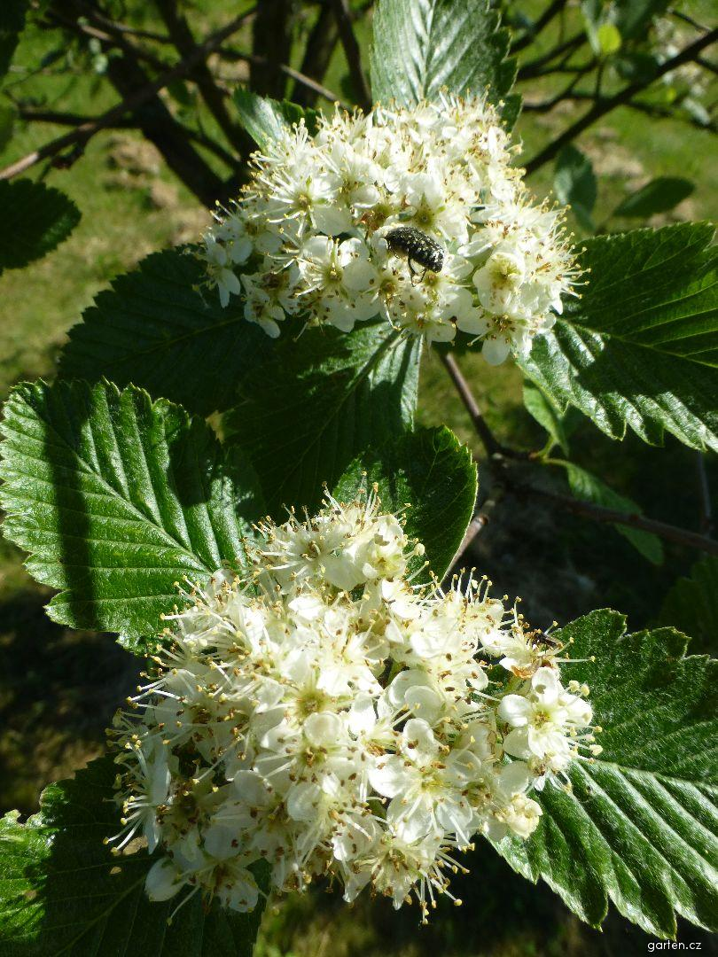 Jeřáb Mougeotův - větévka s květy (Sorbus mougeotii)