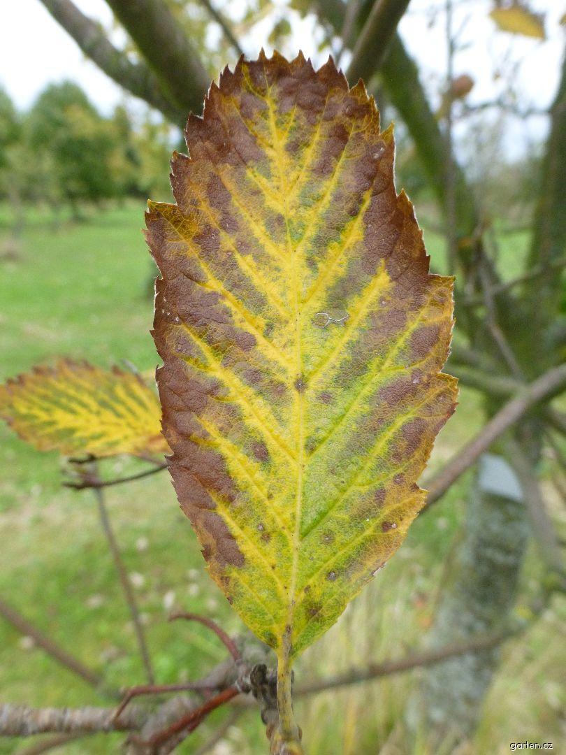 Jeřáb Mougeotův - podzimní list (Sorbus mougeotii)