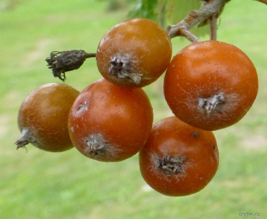 Jeřáb český - větévka s plody (Sorbus bohemica)