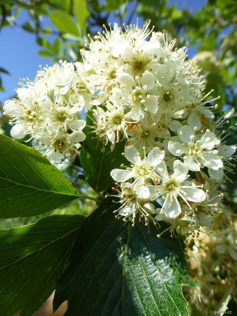 Jeřáb český - větévka s květy (Sorbus bohemica)
