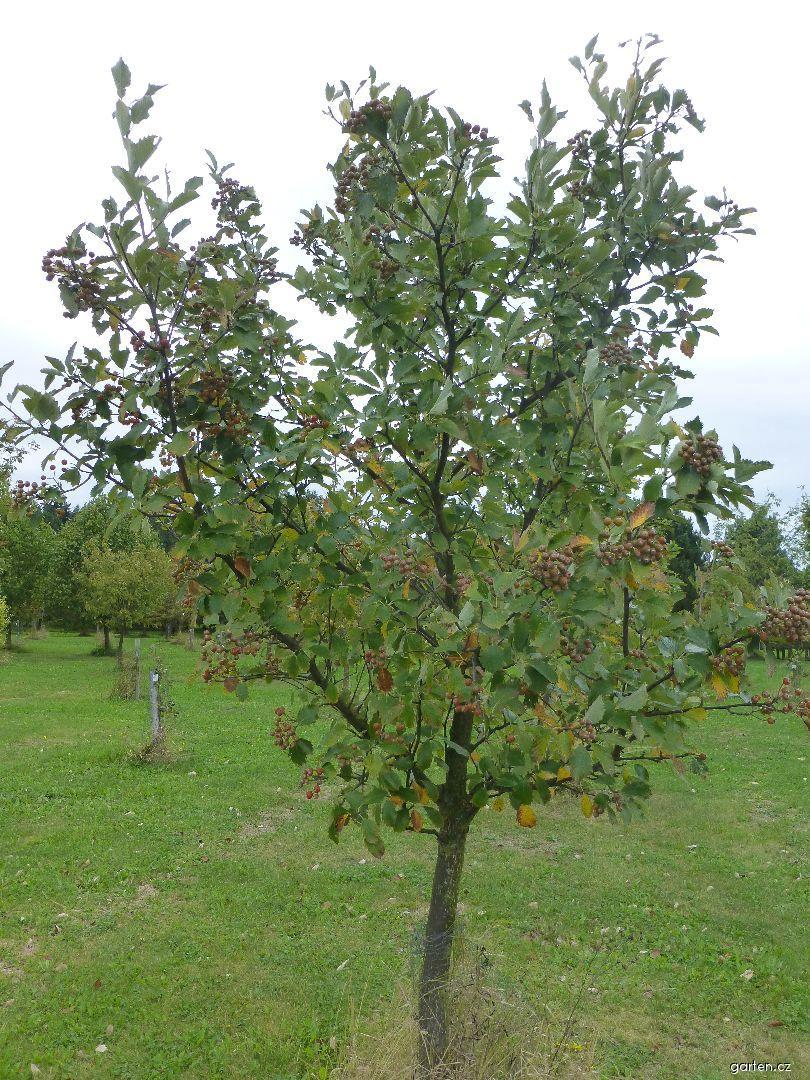Jeřáb český - habitus s plody (Sorbus bohemica)