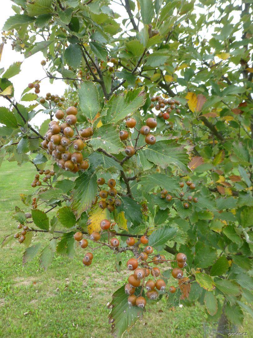 Jeřáb český - větve s plody (Sorbus bohemica)
