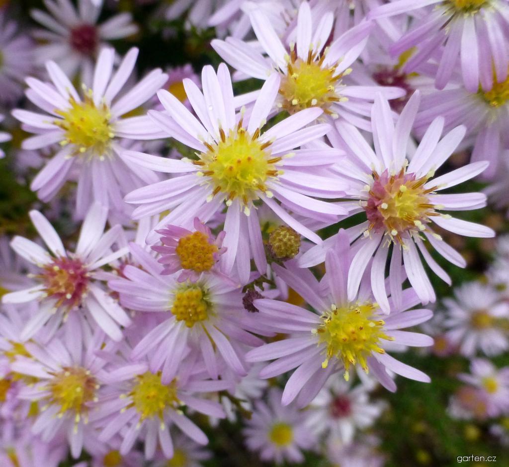 Hvězdnice Coombe Fishacre - květ (Aster lateriflorus)